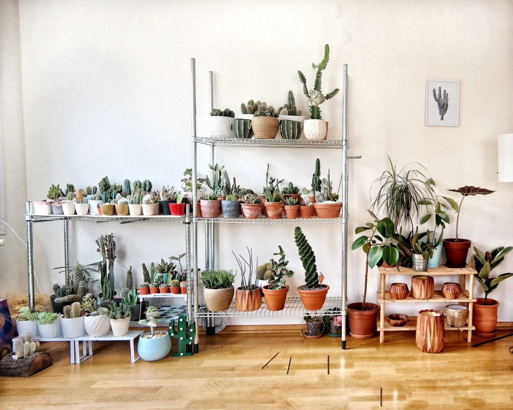Three shelves hold multiple green plants, cacti and succulents in white, blue and terracotta pots.